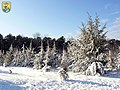Snow covered junipers (8229642933).jpg