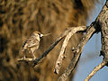 Sociable Weaver, Etosha National Park, Namibia (3926578891).jpg