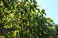 Solanum betaceum kz01.jpg