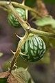 Solanum incanum ? (Solanaceae) (4757267542).jpg