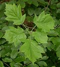 Sorbus torminalis leaves kz.jpg