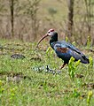 Southern Bald Ibis (Geronticus calvus) (31693488464).jpg