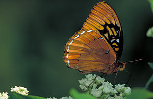 Diana fritillary - Living specimen (male)