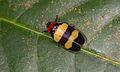 Sphenorhina sp. (14864186570).jpg