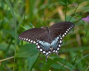 Papilio troilus - Image: Spicebush 02