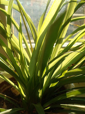 Indoor air quality - Spider plants (Chlorophytum comosum) absorb some airborne contaminants