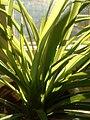Spider Plant Blades.JPG