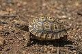 Spider tortoise (Pyxis arachnoides archnoides) Tsimanampetsotsa.jpg