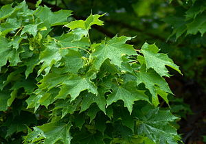 Acer platanoides - Norway maple leaves
