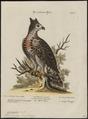 Spizaëtus coronatus - 1700-1880 - Print - Iconographia Zoologica - Special Collections University of Amsterdam - UBA01 IZ18100235.tif