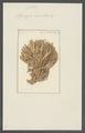 Spongia surculosa - - Print - Iconographia Zoologica - Special Collections University of Amsterdam - UBAINV0274 112 05 0017.tif