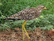Spotted Thick-Knee (Burhinus capensis) (6044666659).jpg