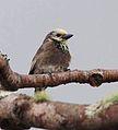 Stactolaema anchietae, Cuanavale-rivier, Birding Weto, b.jpg
