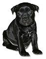 Staffordshire Bull Terrier Puppy.jpg