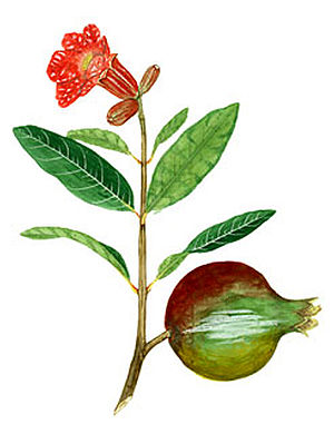 San Juan Botanical Garden - Dr. Agustín Stahl watercolor of Punica granatum.