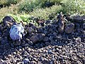 Starr-020422-0006-Bidens pilosa-fenceline road-Puu o Kali-Maui (24252837000).jpg
