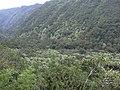 Starr-040209-0225-Aleurites moluccana-habit-Hana Hwy-Maui (24580509582).jpg