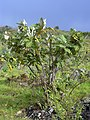 Starr-040514-0303-Bocconia frutescens-habit-Keokea-Maui (24676392016).jpg