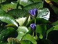 Starr-071024-9915-Nymphaea sp-flowering habit-Enchanting Floral Gardens of Kula-Maui (24869186276).jpg