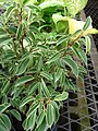 Starr-080103-1367-Ficus benjamina-habit-Lowes Garden Center Kahului-Maui (24781749272).jpg