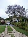 Starr-090421-6216-Jacaranda mimosifolia-flowers covering car-Pukalani-Maui (24584696409).jpg