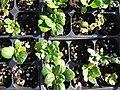 Starr-090801-3490-Brassica rapa var rosularis-seedlings in plugs-Olinda-Maui (24970872435).jpg