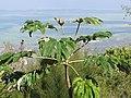 Starr-110307-1876-Tetrapanax papyrifer-habit view makai-Kula Botanical Garden-Maui (24450313353).jpg