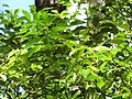 Starr-110307-2166-Cinnamomum camphora-leaves-Kula Botanical Garden-Maui (25051380316).jpg