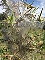 Starr-110628-6380-Ulex europaeus-biocontrol mite webbing-Piiholo-Maui (24466795164).jpg