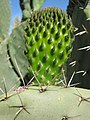 Starr-110830-8747-Opuntia ficus indica-young leaf and big headed ants Pheidole megacephala-Kula-Maui (24477486993).jpg