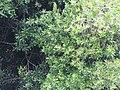 Starr-120305-3531-Macadamia integrifolia-habit-Kula-Maui (25019176712).jpg