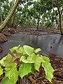 Starr-120620-7555-Jatropha curcas-seedling-Kula Agriculture Park-Maui (25052604961).jpg