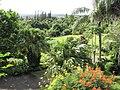 Starr-121108-0661-Livistona chinensis-habit garden view-Pali o Waipio-Maui (24828070539).jpg