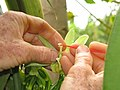 Starr-130312-2171-Vanilla planifolia-flower being hand polinated-Pali o Waipio Huelo-Maui (25113649041).jpg