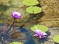 Starr-141025-2511-Nymphaea sp-flowering habit in well-Kawela-Molokai (25221583156).jpg