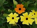 Starr-150811-0548-Thunbergia alata-Sundance and regular orange flowering habit-Enchanting Floral Gardens of Kula-Maui (24668917823).jpg