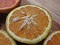 Starr-180917-5499-Citrus reticulata-Temple Tangor fruit cross section-Hawea Pl Olinda-Maui (45815645161).jpg