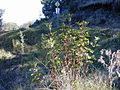Starr 021126-0014 Ageratina adenophora.jpg