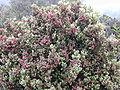 Starr 030419-0155 Leptecophylla tameiameiae.jpg