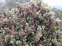 Rigid 030419-0155 Leptecophylla tameiameiae.jpg