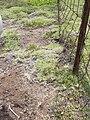 Starr 040514-0106 Cynodon dactylon.jpg