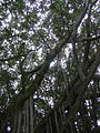 Starr 040514-0205 Ficus microcarpa.jpg