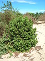 Starr 051104-5147 Myoporum sandwicense.jpg