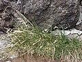 Starr 060924-0363 Poa pratensis.jpg