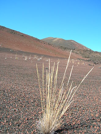 Flora of the United States - Image: Starr 061003 9412 Agrostis sandwicensis