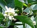 Starr 061105-1381 Citrus aurantiifolia.jpg