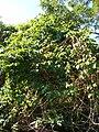 Starr 061128-1638 Passiflora edulis.jpg