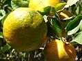 Starr 061223-2671 Citrus reticulata.jpg
