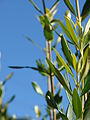 Starr 070111-3140 Olea europaea subsp. cuspidata.jpg