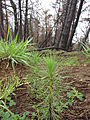 Starr 070908-9135 Pinus radiata.jpg
